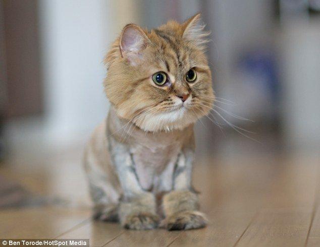 lion-cat