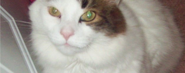 The Importance of Health screening for Senior Cat health
