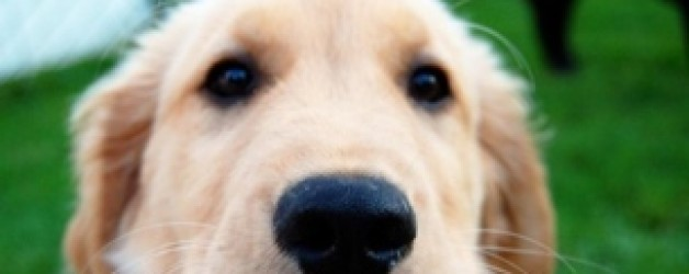 Help My Dog eats Poop! Why and how to stop a poop eater.